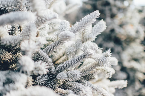 Frosty tree branches